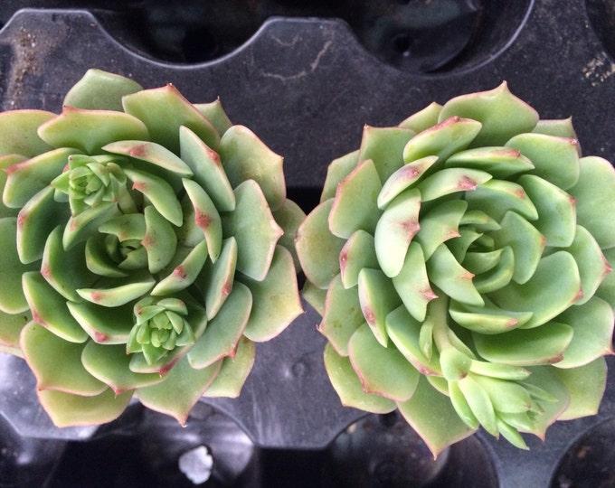"""Echeveria Ramillette 2.5"""" Succulent Treasures"""