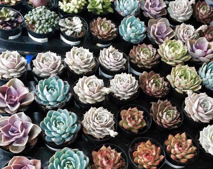 "4 Assorted 2.5"" rooted succulents plants. Premium Quality"