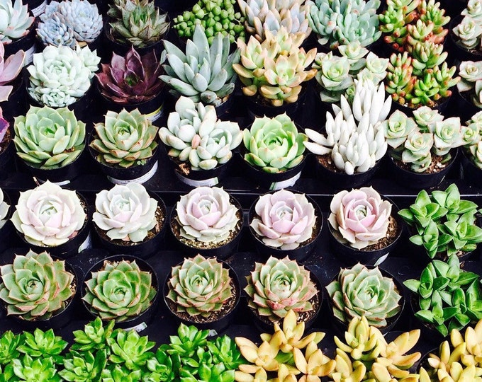 """100 Potted Assorted potted 2.5"""" rooted succulents plants. Premium Quality"""