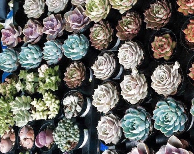 """36 Potted Assorted potted 2.5"""" rooted succulents plants. Premium Quality"""