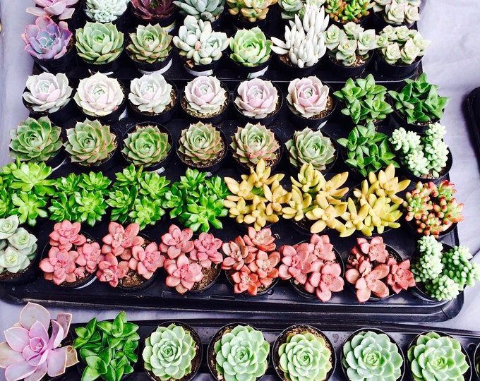 """24 Assorted 2.5"""" rooted succulents plants. Premium Quality"""