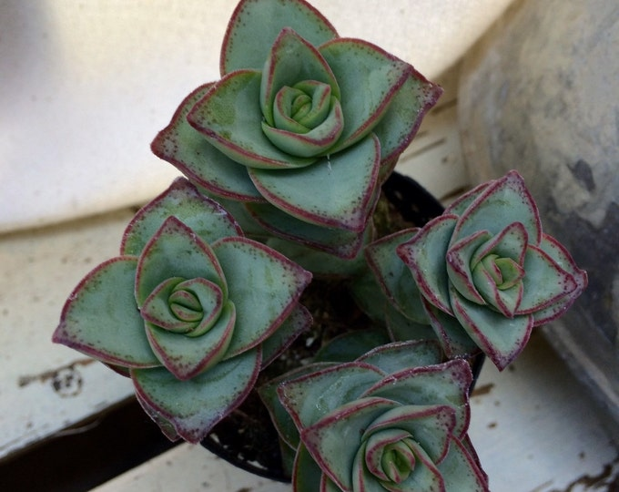 """Crussula String of Buttons 2.5"""" Succulent"""