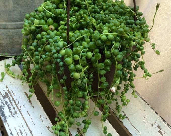 "Hanging String of Pearls Basket 6"" Pot Succulent Treasures Senecio Rowleyanus"