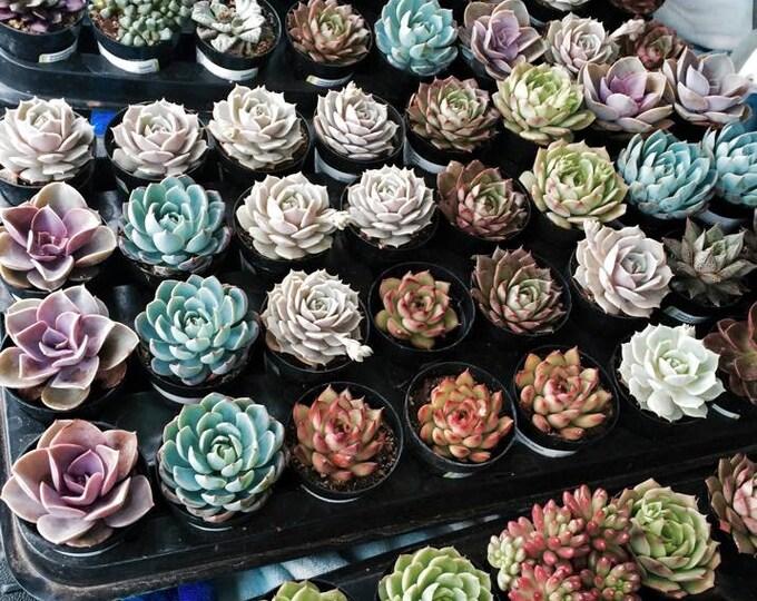 """Live Succulent Plants Premium Quality 8 Assorted 2.5"""""""