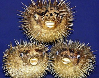 6375122a42dcd Porcupine Blow Puffer Fish Taxidermy