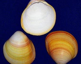 """EACH Bubble,Chula,Cockle Shells~Ornaments Nautical Seashell 4/"""" Balls Orbs"""