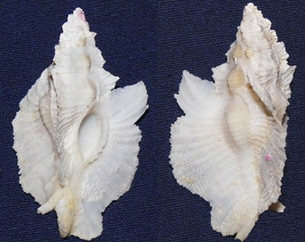 ~ Homalocantha zamboi Shell ~ Shellcraft ~ Seashells ~ Sailor/'s Valentines ~