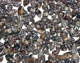 "1//2/""-3//4/"" Seashells per 1//2 lb. Nassa Nassarius Pyrene Craft Shells ~ 400"