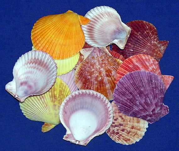 "50 BABY FLAT PECTEN SEA SHELLS 1/"" UP TO 1-3//4/"" TALL"