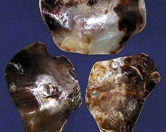 "Polished Giant Saddle Oyster Placuna Half Shell  6""+  Craft Seashell ~  (2) Shells  Free Shipping"