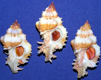 Chicoreus gloriosus Murex Shell 48/50mm. Specimen Seashells~ (Each) ~  We Do Not Offer International Shipping ~