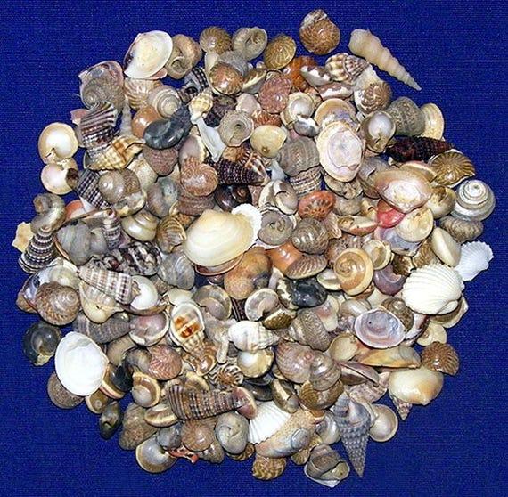 """Tiarella Each papalis Shell 3-1//2/""""-4/"""" Craft Seashell Supply Mitra"""