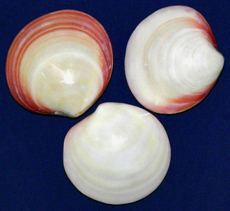 """Muffin Land Snail Shells ~ 3-1//2/""""~ Craft Seashells Supply Select 1//2//3 Pcs."""