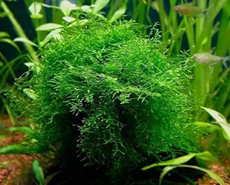 Java Moss  Easy Live Fresh Water Aquarium Plants image 0