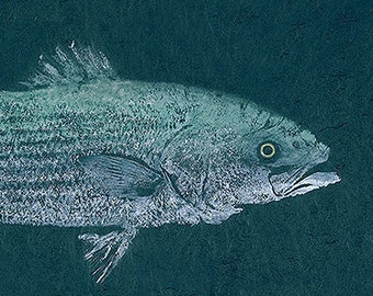 """Limited Edition Reproduction of gyotaku """"Striped Bass"""""""