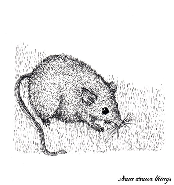 A Cute Antechinus - original illustration