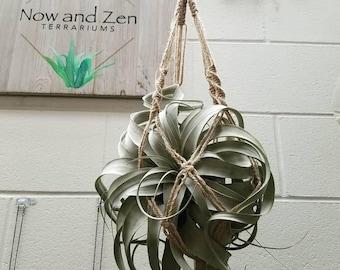 Xerographica   Air Plant   Terrarium   Hanging Macrame   Gift   Indoor Plant   Boho Decor   Office Accessories