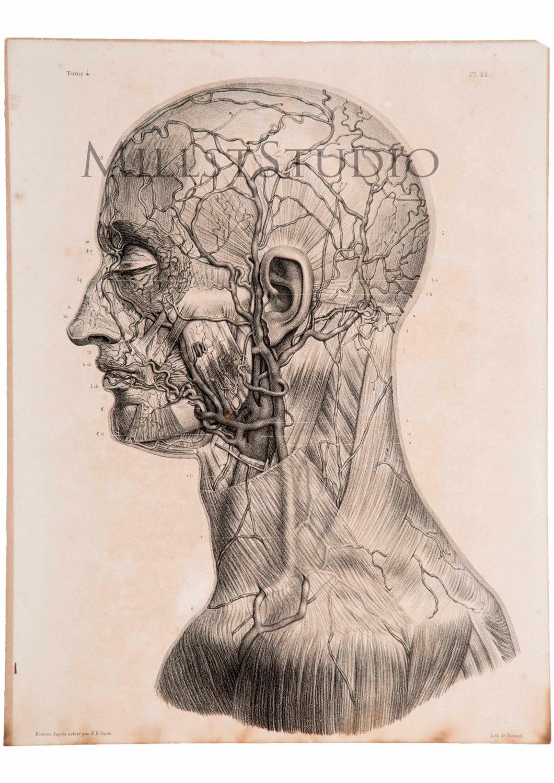 Anatomische Blatt. Arterien und Venen des Gesichts. Arterien | Etsy