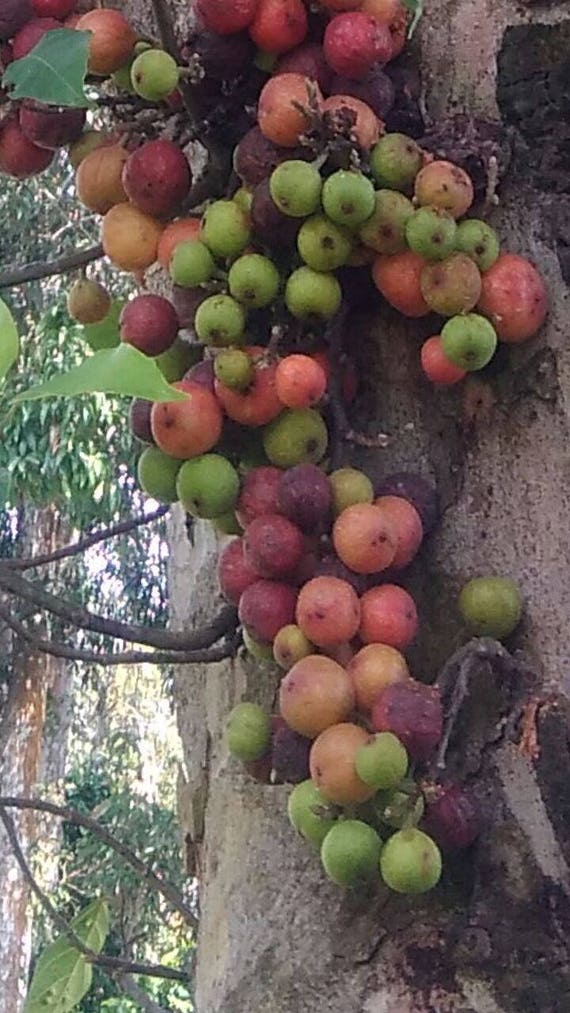 Ficus auriculata Roxburgh/'s Ficu Samen Himalaya-Feige 20 seeds 20 Samen