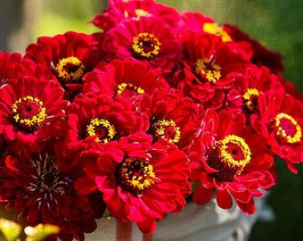 Zinnia, Meteor Heirloom Seeds, Flower Seeds, Red Flower, Butterfly Garden, Cut flowers, Hummingbird Garden
