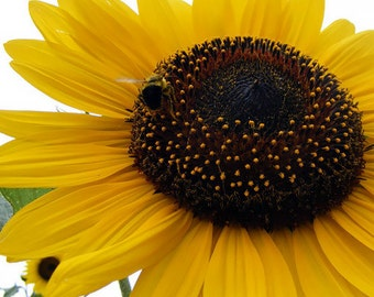 Wild Sunflower Heirloom Seeds - Native, Non-GMO, Open Pollinated, Untreated, Flower Seeds