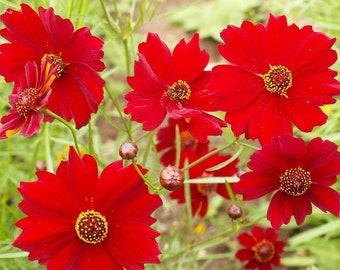 Dwarf Red Plains Coreopsis Flower Seeds, Heirloom, Native, Flower Seeds, Pollinator Garden