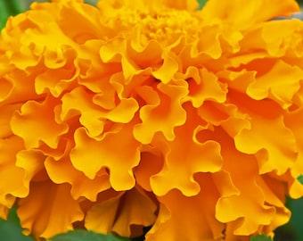 Marigold Crackerjack Mix Flower Seeds, Heirloom, Native, Flower Seeds
