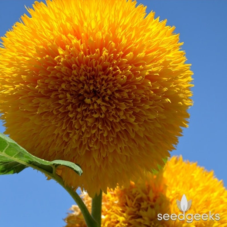 Teddy Bear Sunflower Seeds  Heirloom Seeds Seed Packets image 0