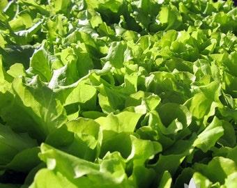 Black Seeded Simpson Lettuce Heirloom Seeds