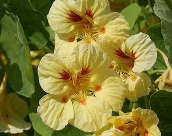Nasturtium, Peach Melba Dwarf Heirloom Flower Seeds