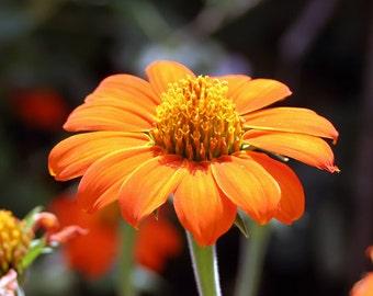 Mexican Sunflower (Torch) Heirloom Seeds, Flower Seeds