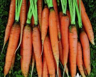 Scarlet Nantes Carrot Heirloom Seeds