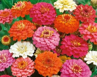 Zinnia, Thumbelina Mix Heirloom Seeds - Flower Seeds, Flower Mix, Dwarf Flowers, Mixed Zinnia