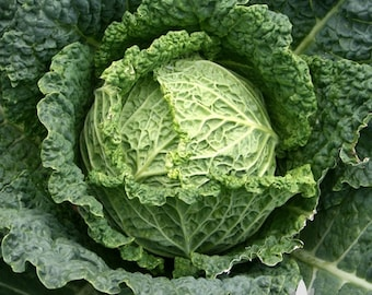 Savoy Cabbage Heirloom Seeds