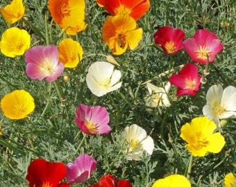 California Poppy, Mix Heirloom Seeds - Flower Seeds, Cool Weather Seeds, Flowers, Cool Season Flowers, Annual, California