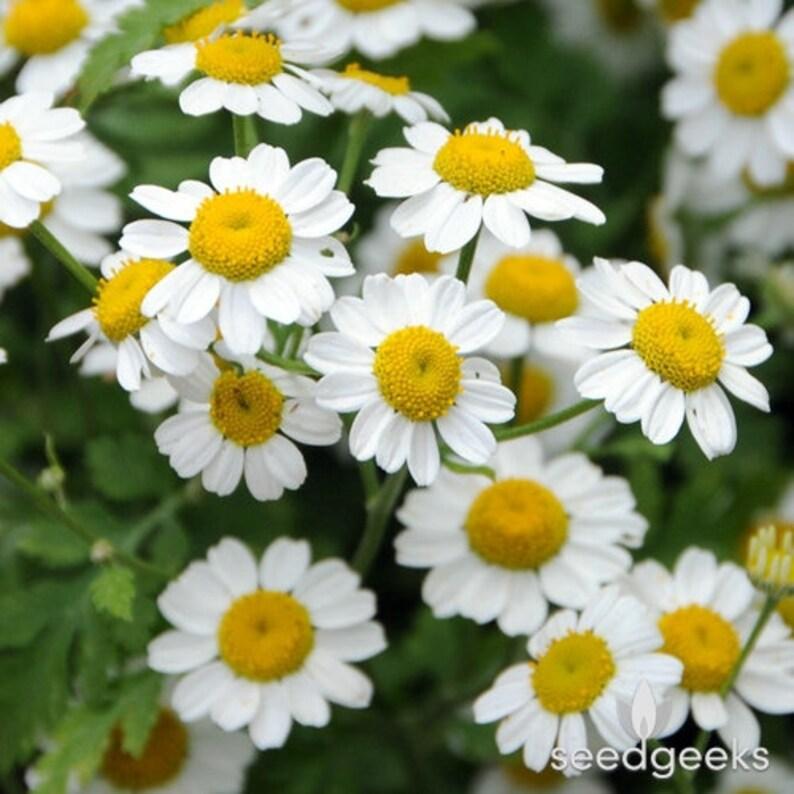 Chamomile German or Roman Flower Seeds Fresh /& Hand Packaged 2 varieties