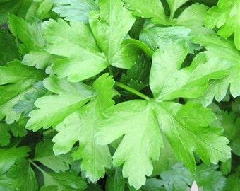 Dark Green Italian Parsley Herb Heirloom Seeds
