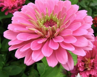 Zinnia, Luminosa Heirloom Seeds, Flower Seeds