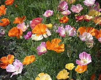 California Poppy, Ballerina Mix Heirloom Seeds - Flower Seeds, Cool Weather Seeds, Flowers, Cool Season Flowers, Annual, California
