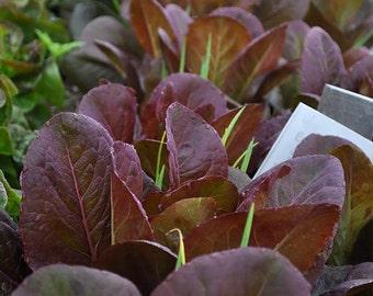 Rouge d'Hiver Romaine Lettuce Heirloom Seeds