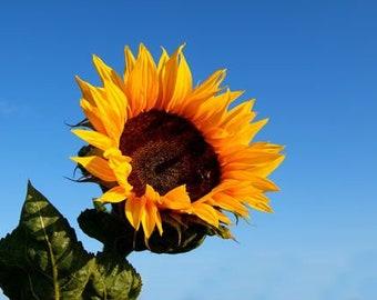 Black Oil Sunflower Heirloom Seeds, Flower Seeds