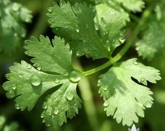 Slo-Bolt Cilantro Herb Heirloom Seeds
