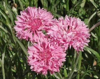Bachelor's Button, Tall Pink Cornflower Heirloom Seeds, Flower Seeds, Wildflower