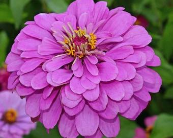 Zinnia, Lavender Heirloom Seeds, Flower Seeds, Purple Flower, Butterfly Garden, Cut flowers, Victorian Garden