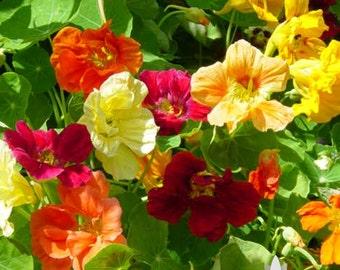 Nasturtium Jewel Mix Dwarf Heirloom Flower Seeds