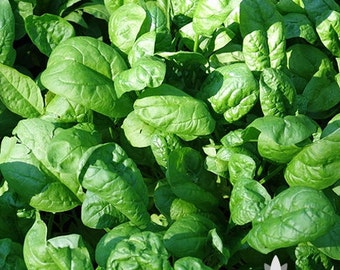 Noble Giant Spinach Heirloom Seeds