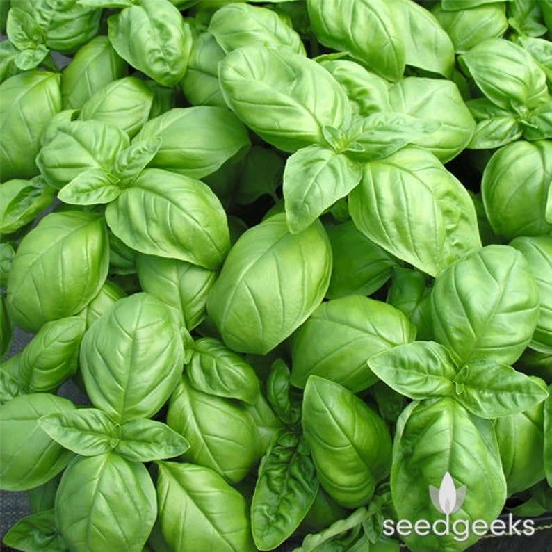 Non-GMO Untreated Genovese Basil Herb Heirloom Seeds Open Pollinated!