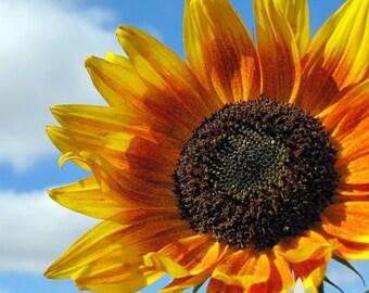 Autumn Beauty Sunflower Seeds -  Heirloom Seeds, Seed Packets, Flower Seeds, Sunflower, Non GMO, Open Pollinated