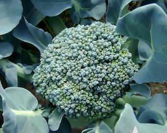Waltham 29 Broccoli Heirloom Seeds - Non-GMO, Open Pollinated, Untreated