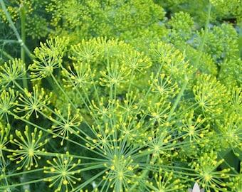 Bouquet Dill Herb Heirloom Seeds
